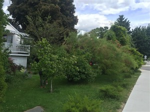 fruit trees overgrown in yard